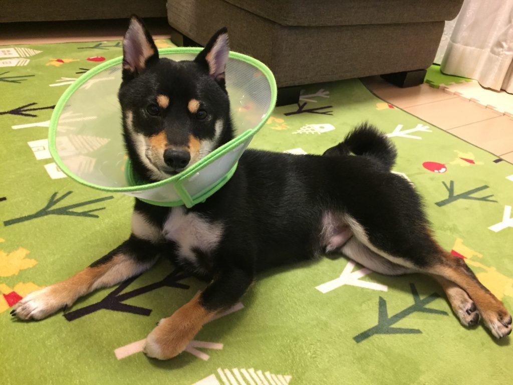黒豆柴犬 うめ太 1歳2ヶ月 目黒川 狂犬病予防注射