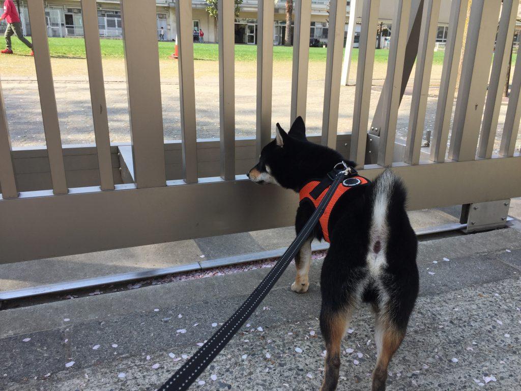 黒豆柴犬 うめ太 1歳2ヶ月
