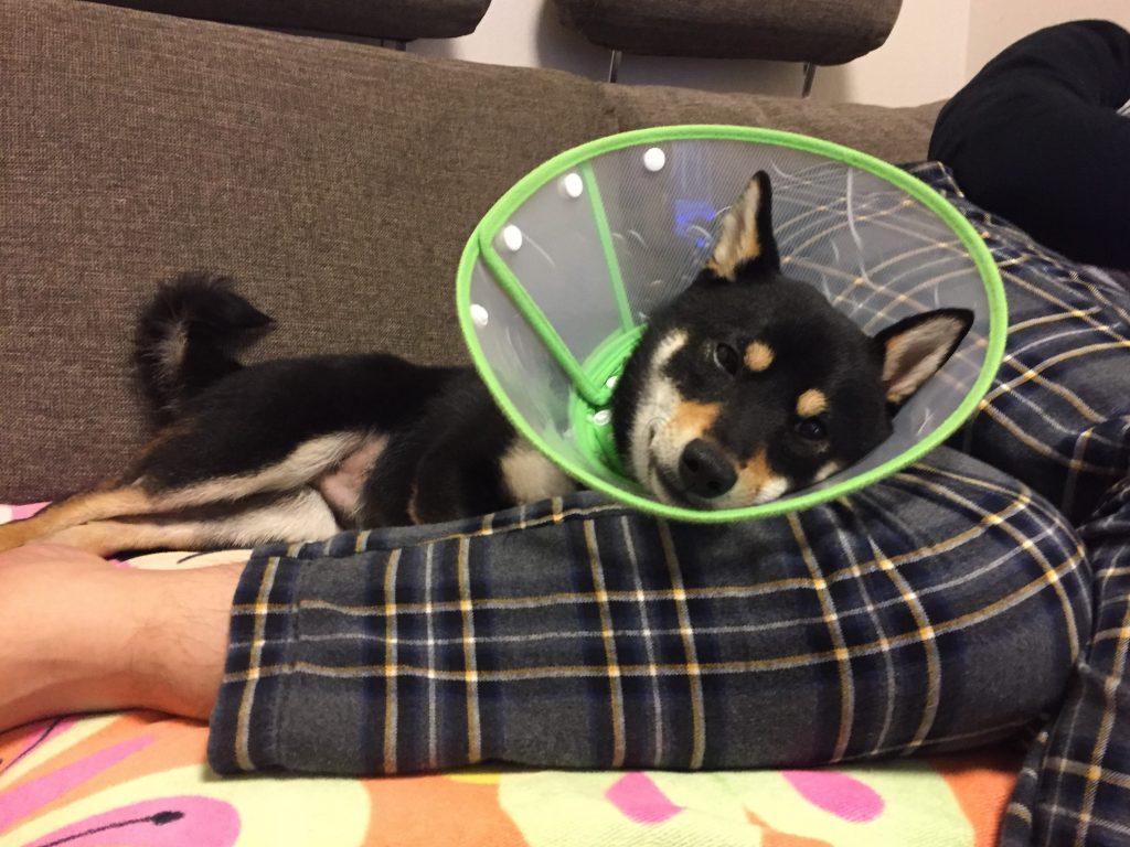 黒豆柴犬 うめ太 1歳2ヶ月 眠る
