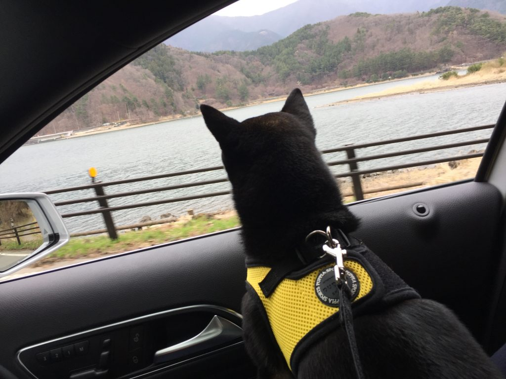 黒豆柴犬 うめ太 1歳2ヶ月 河口湖