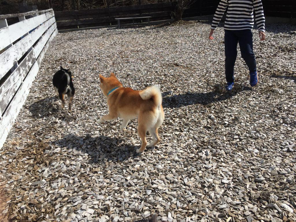 黒豆柴犬 うめ太 1歳2ヶ月 ドッグラン
