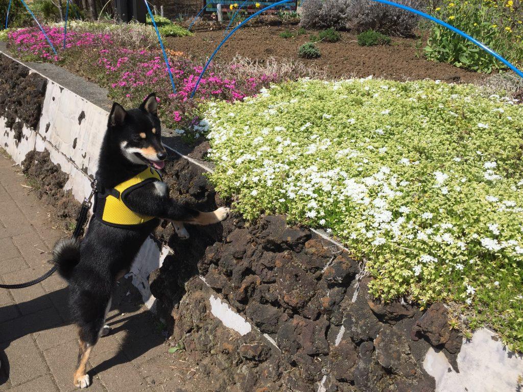 黒豆柴犬 うめ太 1歳2ヶ月 河口湖周辺