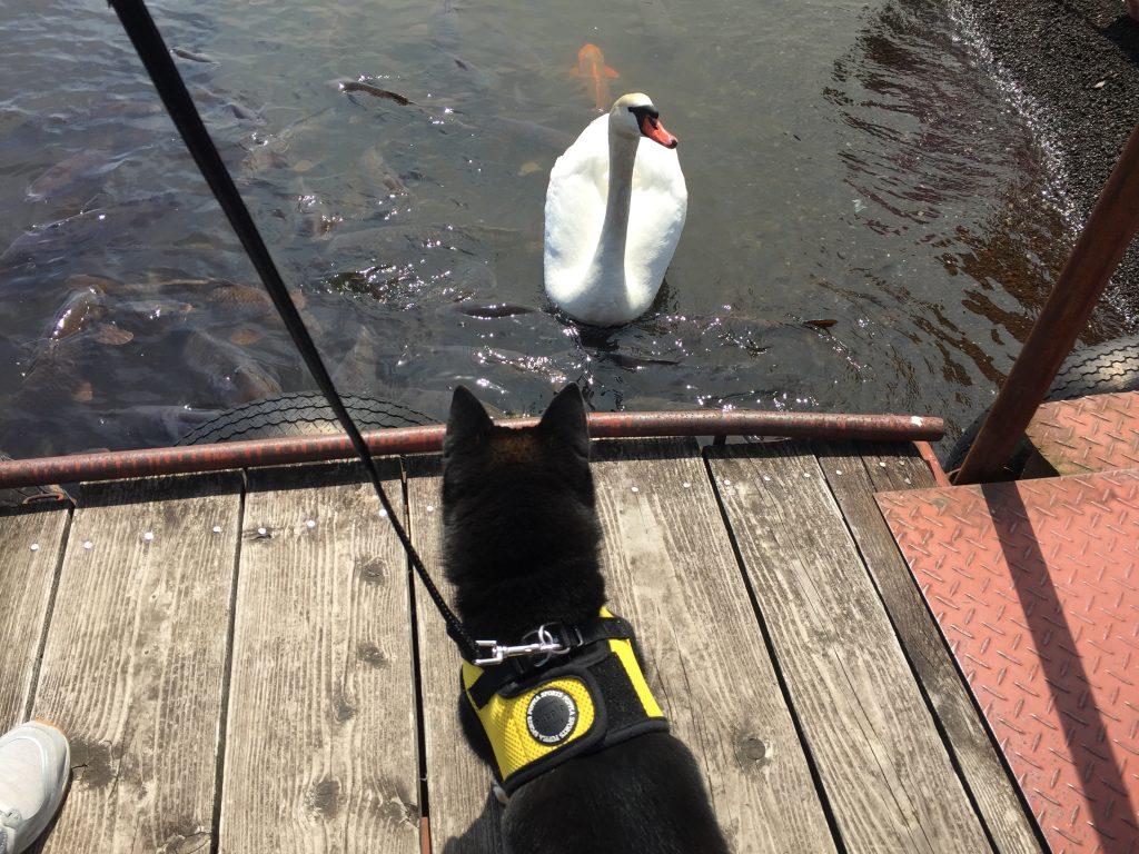 黒豆柴犬 うめ太 1歳2ヶ月 山中湖