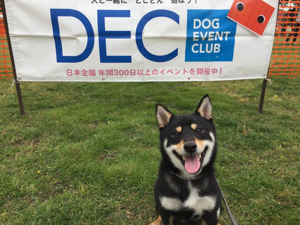 黒豆柴犬 うめ太 1歳3ヶ月 ドッグタイムレース