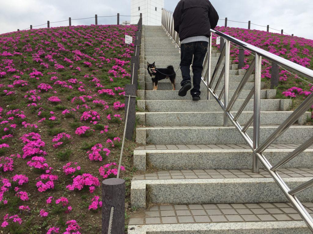 黒豆柴犬 うめ太 1歳3ヶ月 ドッグタイムレース 新浜港シンボルタワー