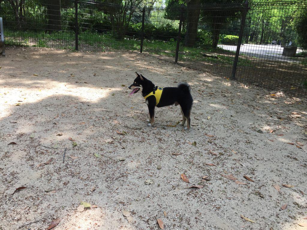黒豆柴犬 うめ太 1歳3ヶ月 所沢航空記念公園 ドッグラン