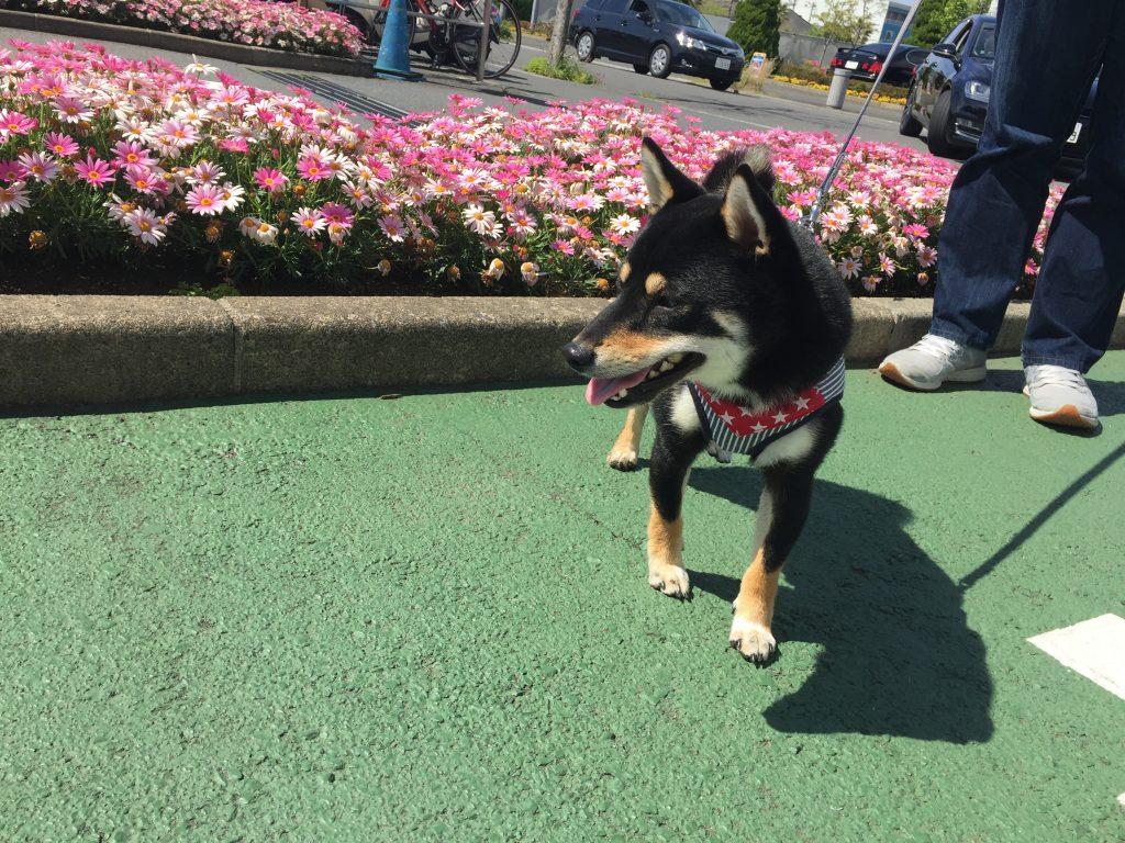 黒豆柴犬 うめ太 1歳3ヶ月 三井アウトレットパーク横浜ベイサイド