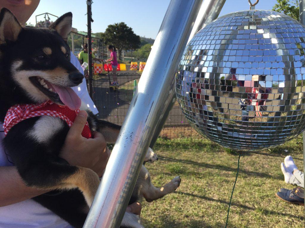 黒豆柴犬 うめ太 1歳3ヶ月 伊豆グランパル公園