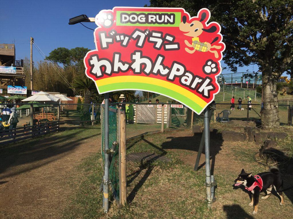 黒豆柴犬 うめ太 1歳3ヶ月 伊豆グランパル公園 ドッグラン