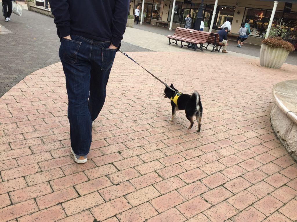 黒豆柴犬 うめ太 1歳3ヶ月 日本犬祭り あみプレミアムアウトレット