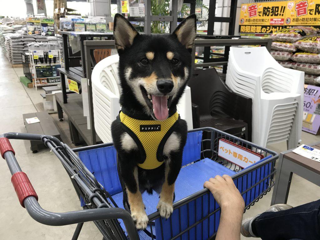 黒豆柴犬 うめ太 1歳4ヶ月 ホームセンター