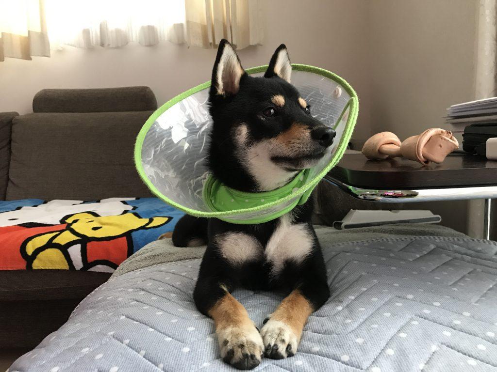 黒豆柴犬 うめ太 1歳4ヶ月 アレルギー性皮膚炎 痒み