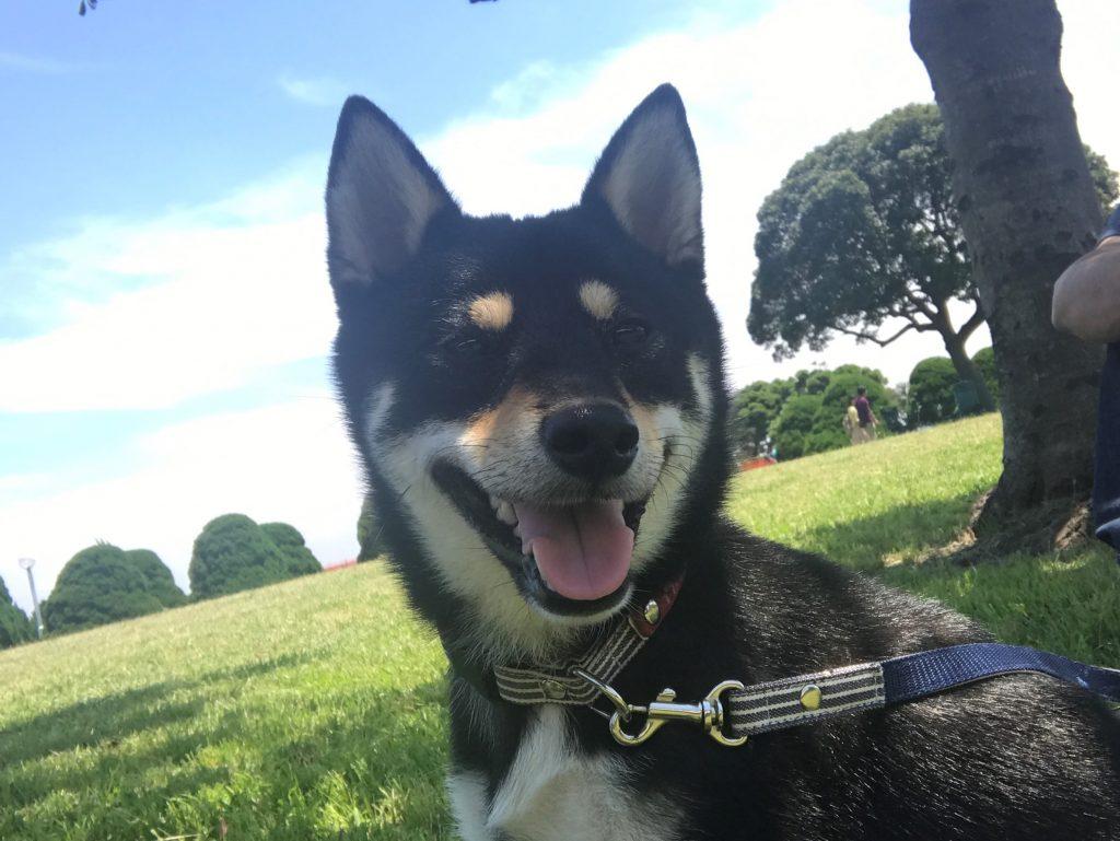 黒豆柴犬 うめ太 1歳4ヶ月 犬種別ハンデトーナメント大会/公式記録会
