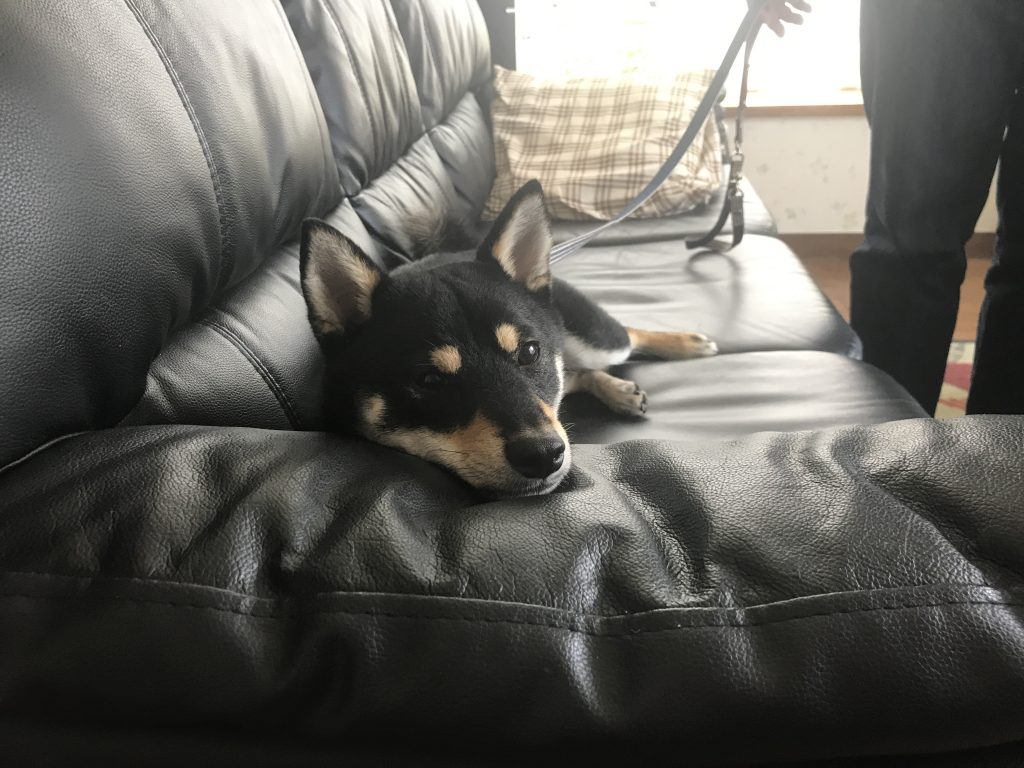 黒豆柴犬 うめ太 1歳4ヶ月