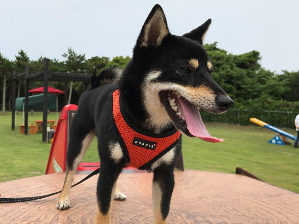 黒豆柴犬 うめ太 1歳4ヶ月 わん's LAND TATEYAMA DOG フェス