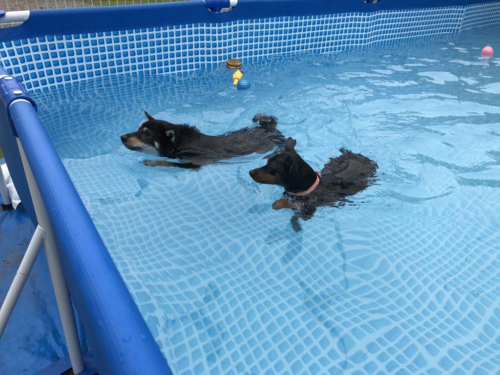 黒豆柴犬 うめ太 1歳4ヶ月 始めてのわんわん水泳教室