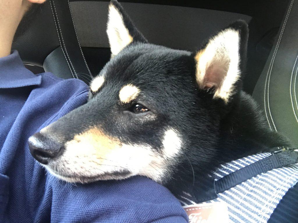 黒豆柴犬 うめ太 1歳4ヶ月 東北自動車 ドッグラン