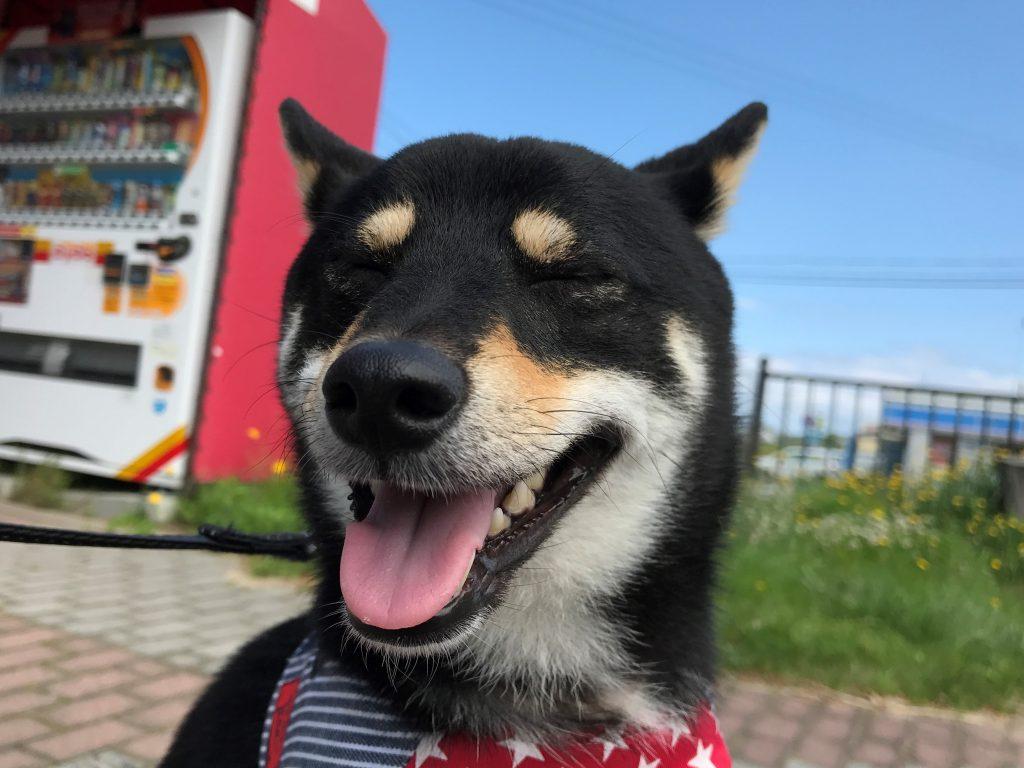 黒豆柴犬 うめ太 1歳4ヶ月 青森