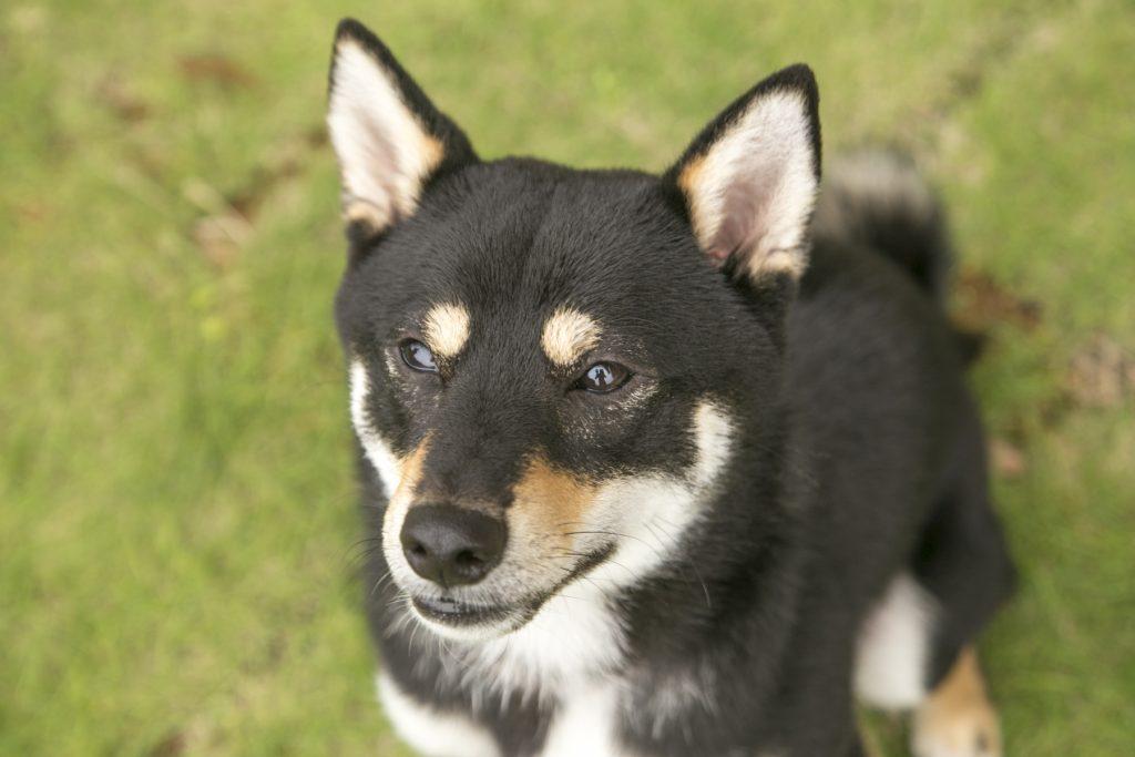 黒豆柴犬 うめ太 1歳4ヶ月 わん's LAND TATEYAMA DOG フェス 客室での愛犬撮影会