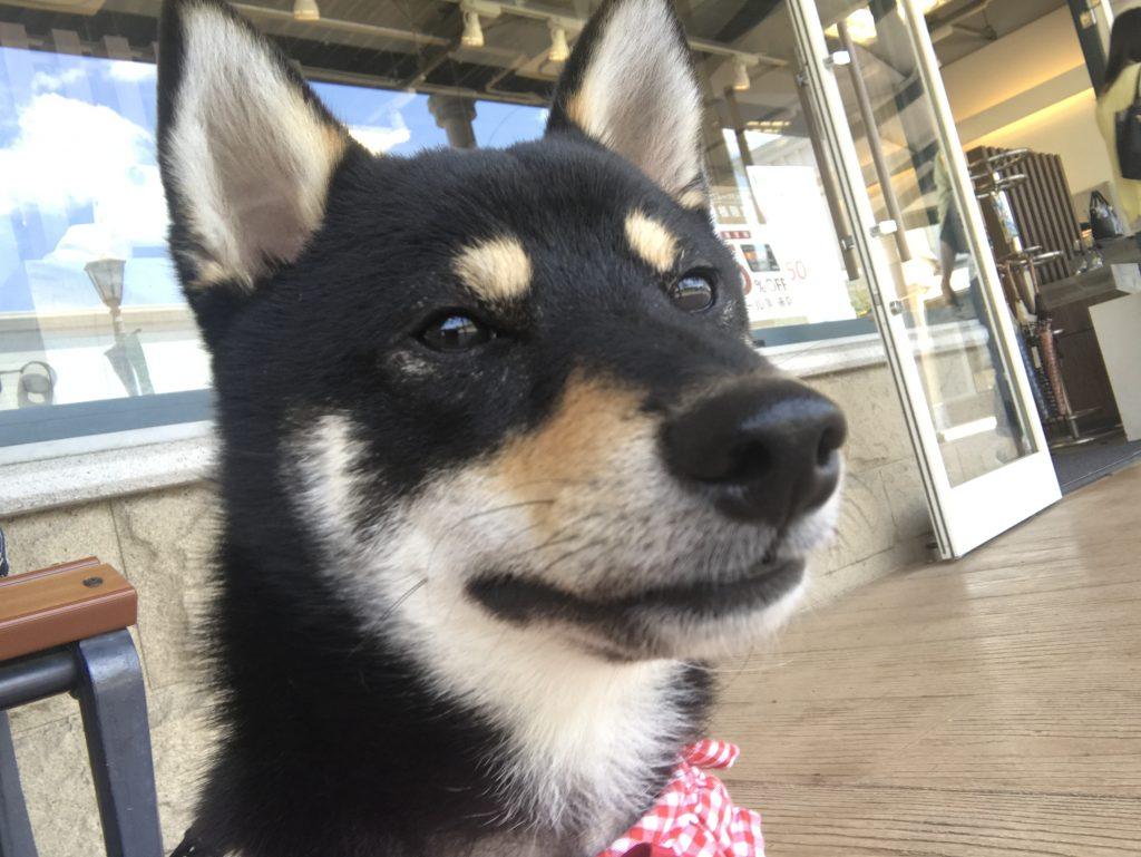 黒豆柴犬 うめ太 1歳5ヶ月 佐野プレミアムアウトレット