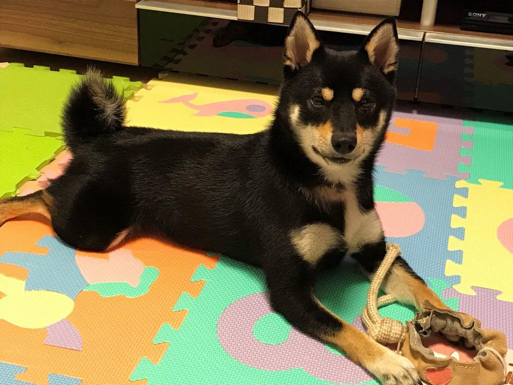 黒豆柴犬 うめ太 1歳5ヶ月