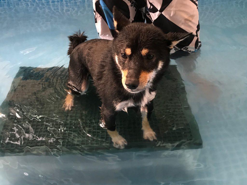 黒豆柴犬 うめ太 1歳5ヶ月 わんわんプール