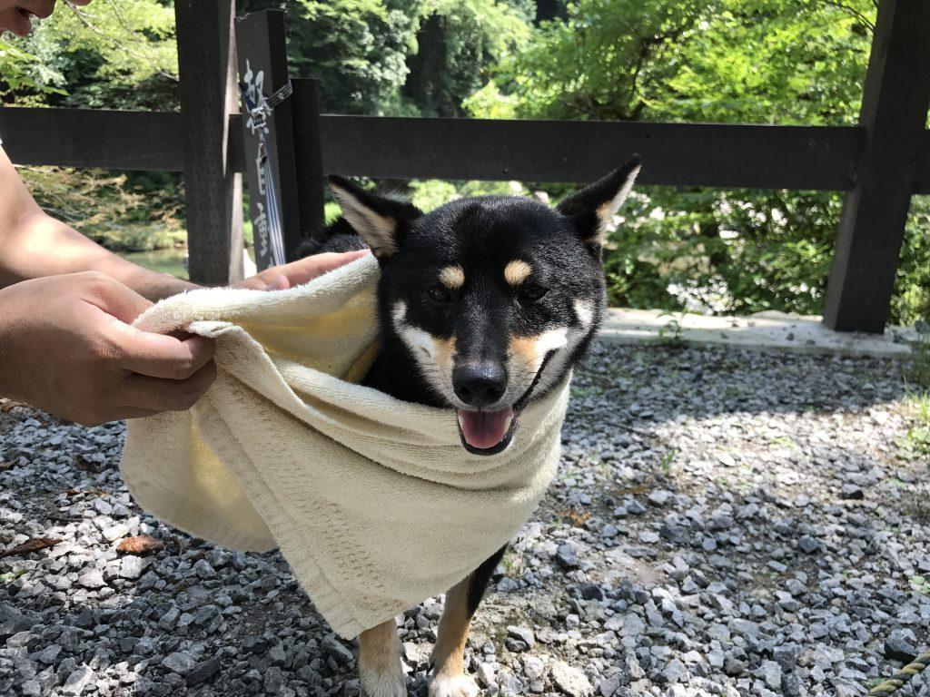 黒豆柴犬 うめ太 1歳半 秋川渓谷
