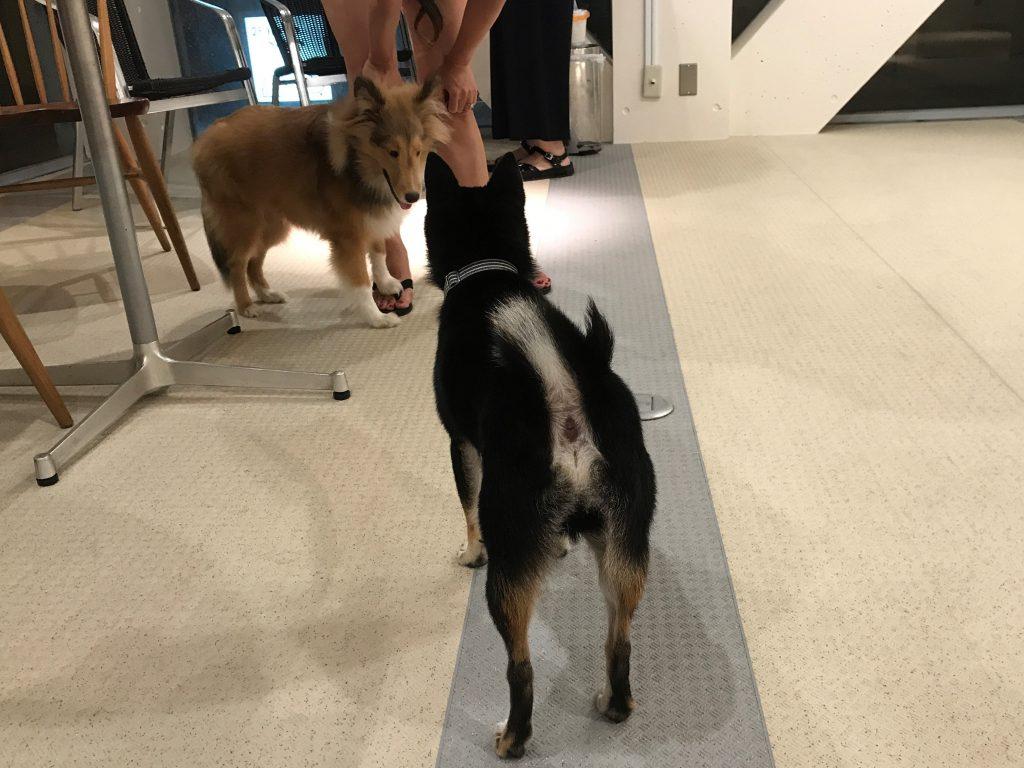 黒豆柴犬 うめ太 1歳半 室内ドッグラン アンディカフェ