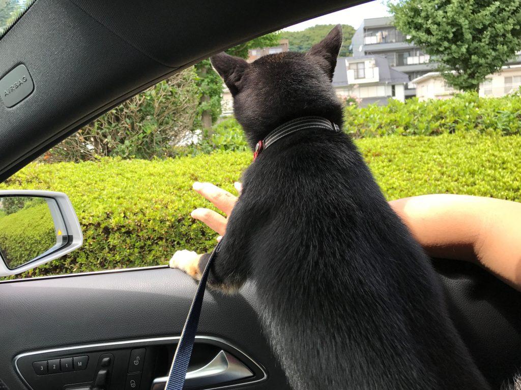 黒豆柴犬 うめ太 1歳半