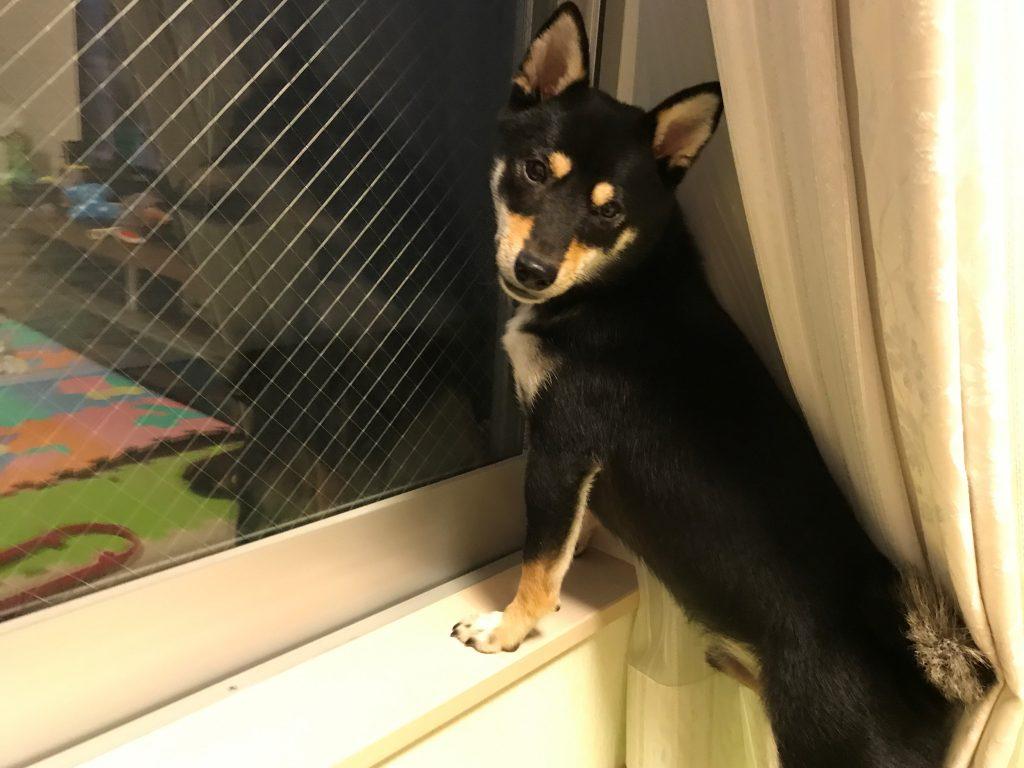 黒豆柴犬 うめ太 1歳8ヶ月