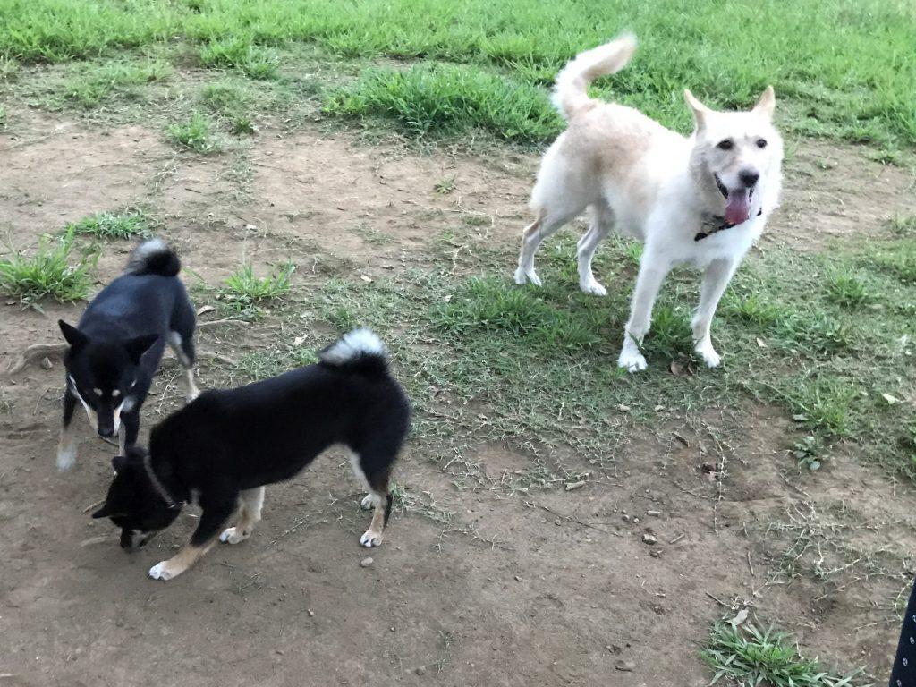 黒豆柴犬 うめ太 1歳半 城南島海浜公園 ドッグラン