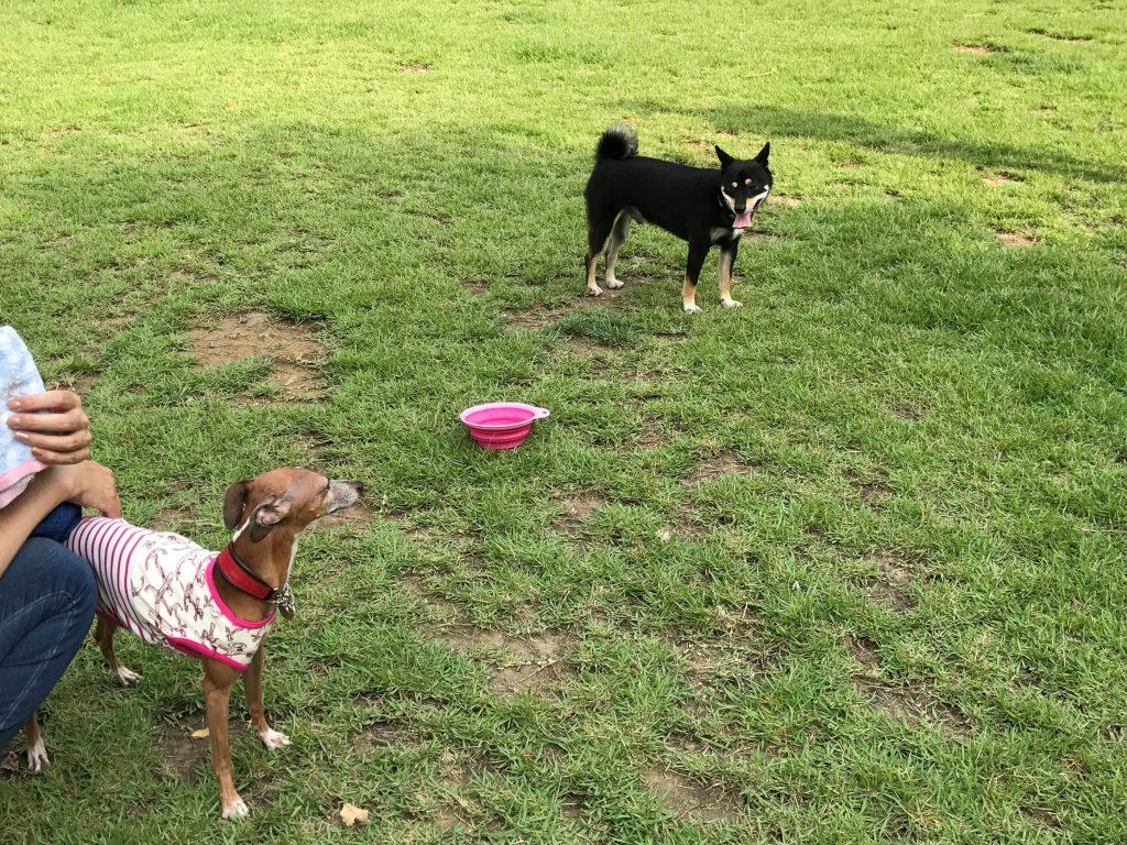黒豆柴犬 うめ太 1歳半 都立桜ケ丘公園 ドッグラン