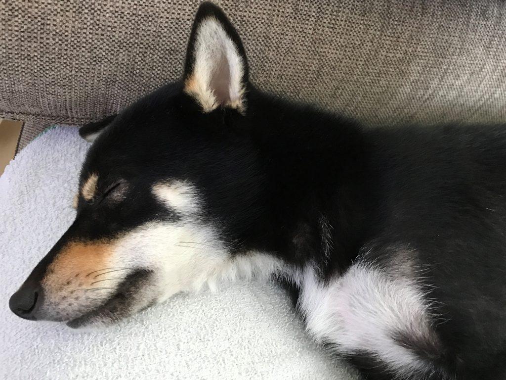 黒豆柴犬 うめ太 1歳半 爆睡