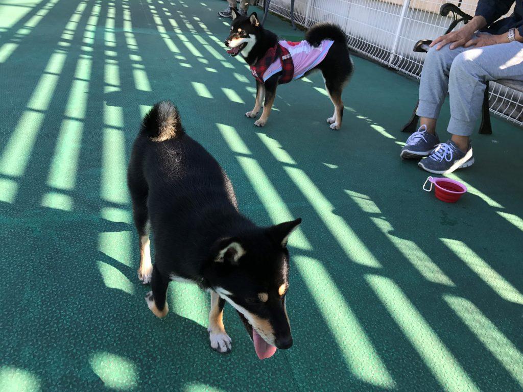 黒豆柴犬 うめ太 1歳半 トレッサ横浜