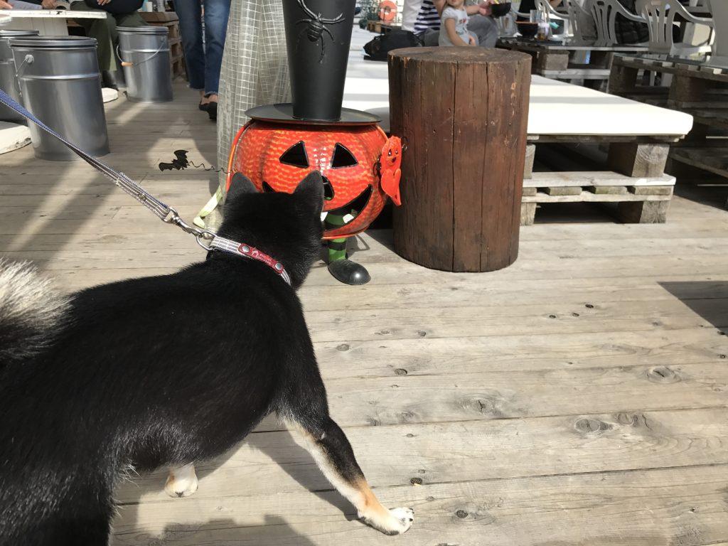 黒豆柴犬 うめ太 1歳8ヶ月 マグロ卸のマグロ丼の店
