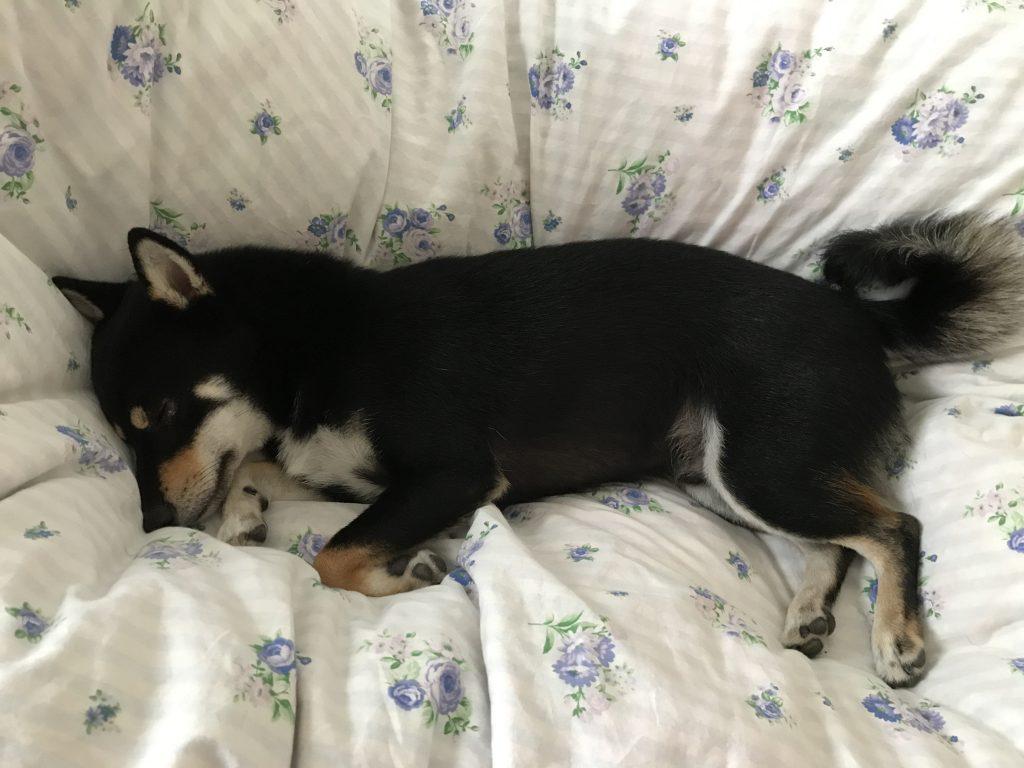 黒豆柴犬 うめ太 1歳9ヶ月
