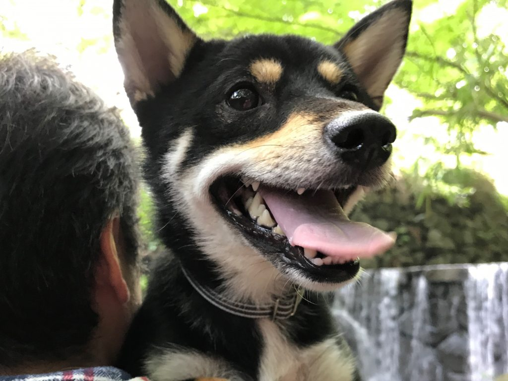 黒豆柴犬 うめ太 1歳8ヶ月 横浜 白糸の滝