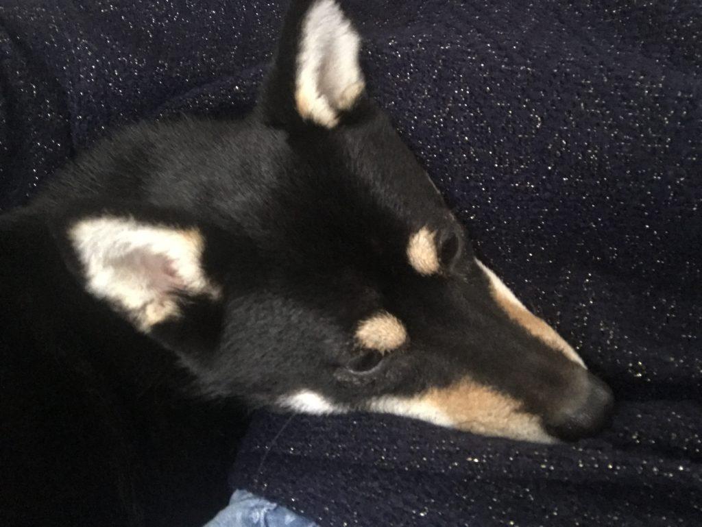 黒豆柴犬 うめ太 1歳8ヶ月 お泊り 甘えん坊