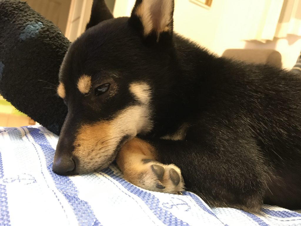黒豆柴犬 うめ太 1歳9ヶ月 ドッグラン