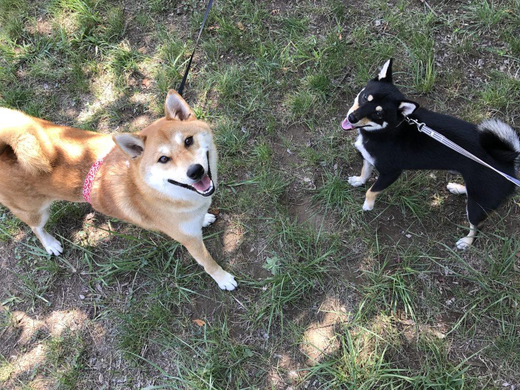 黒豆柴犬 うめ太 1歳8ヶ月 ルアーコーシング