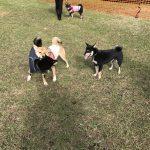 先週11月26日(日)は、柴犬オフ会へ参加してきましたぁ🐕