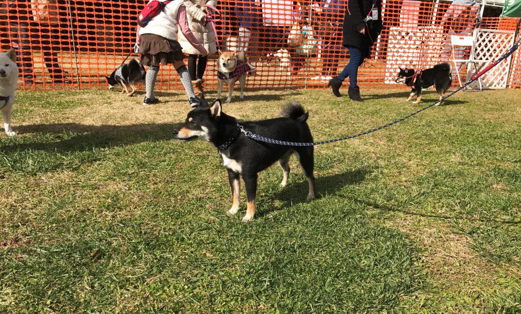 黒豆柴犬 うめ太 1歳10ヶ月 柴犬 オフ会