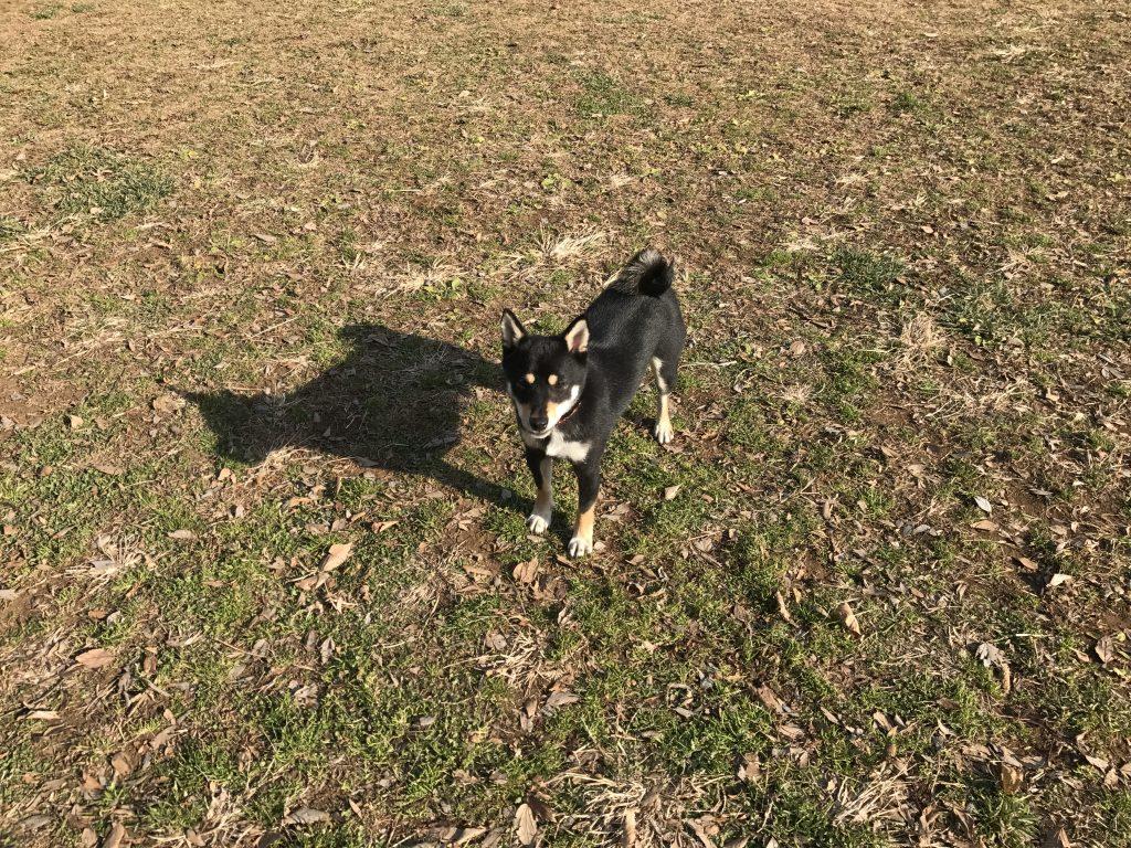 黒豆柴犬 うめ太 1歳10ヶ月