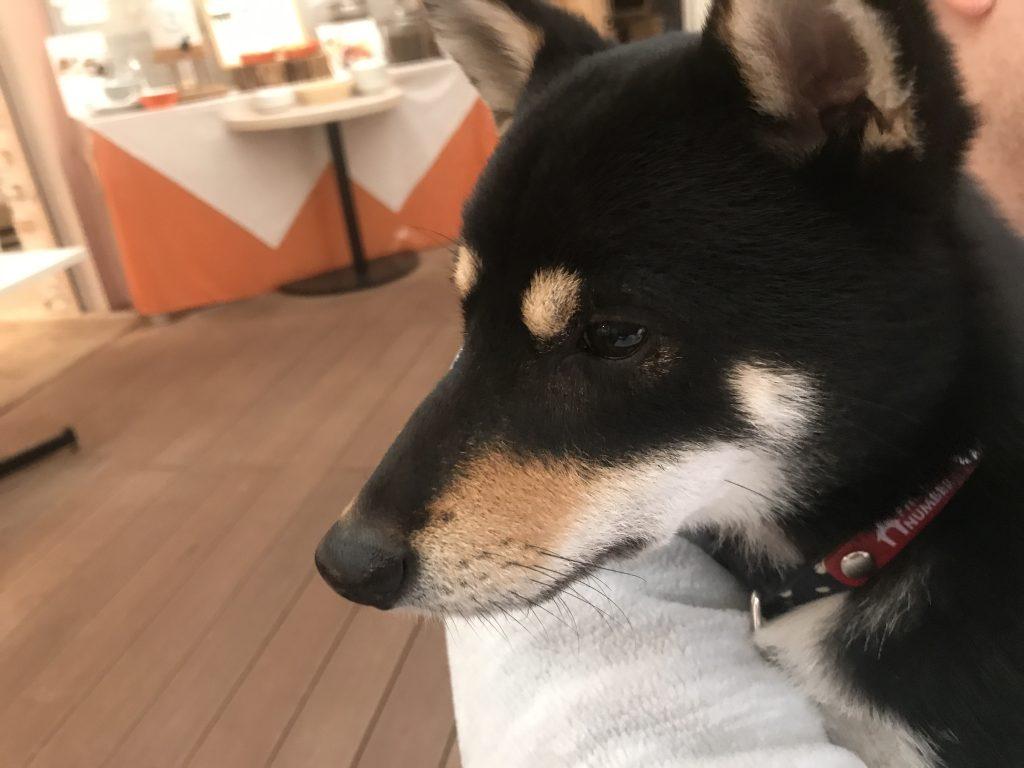 黒豆柴犬 うめ太 1歳11ヶ月 ドギーズアイランド