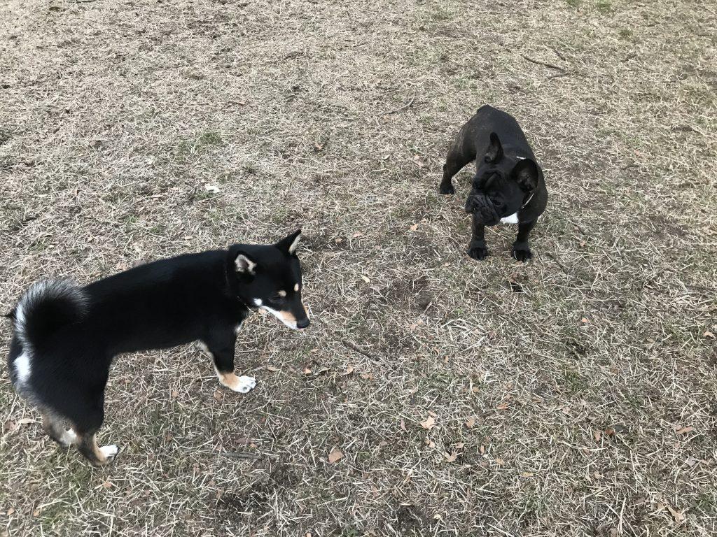 黒豆柴犬 うめ太 2歳 ドッグラン
