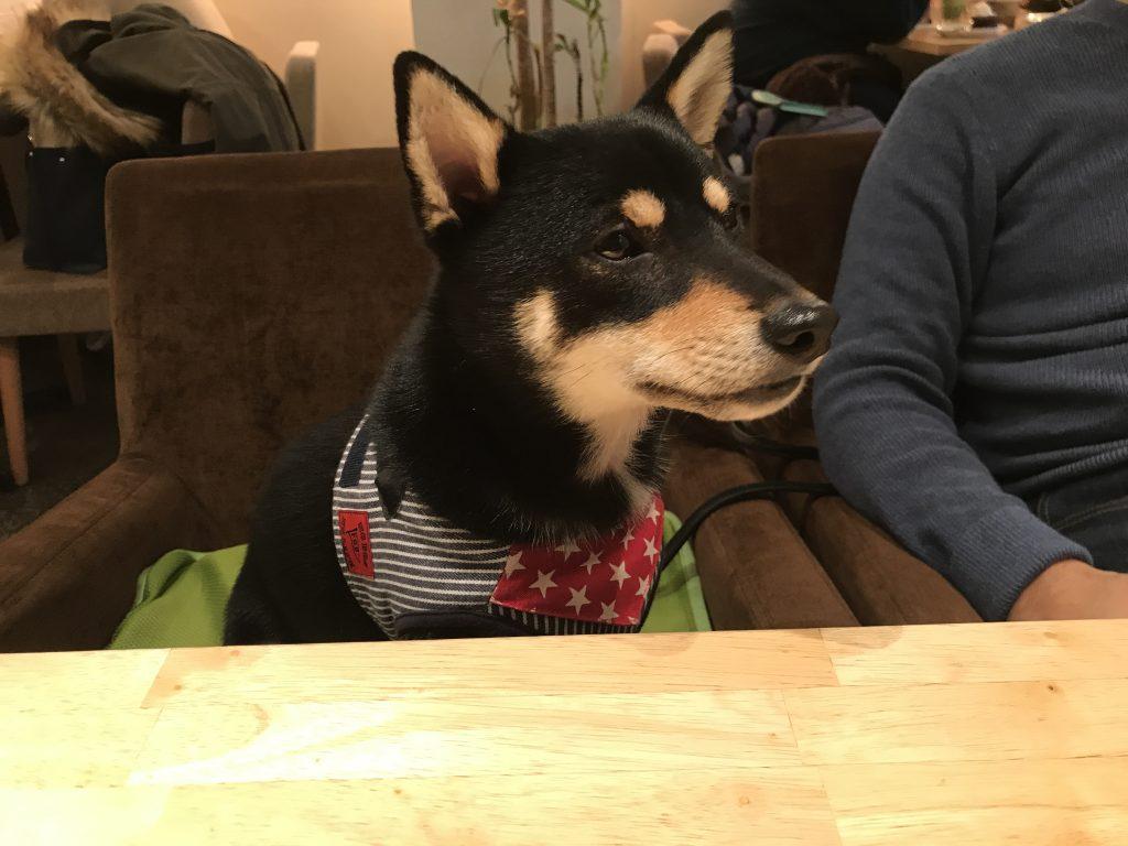 黒豆柴犬 うめ太 1歳11ヶ月 CHINCHOGE CAFE/BAR
