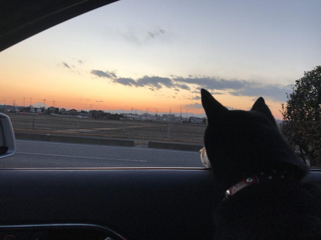 黒豆柴犬 うめ太 1歳11ヶ月  DOGRUN+CAFE FETCH(フェッチ)
