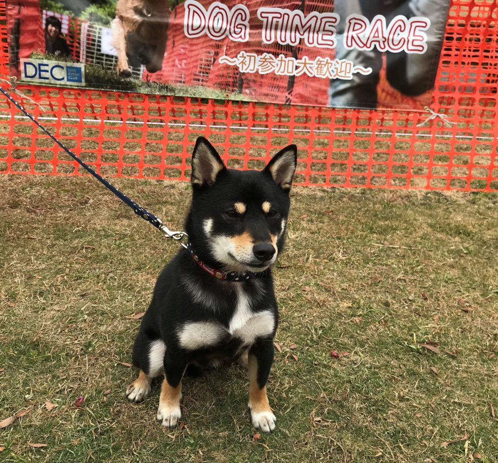 黒豆柴犬 うめ太 2歳 ドッグタイムレース 横浜シンボルタワー