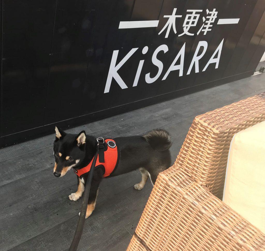 黒豆柴犬 うめ太 2歳 KiSARA