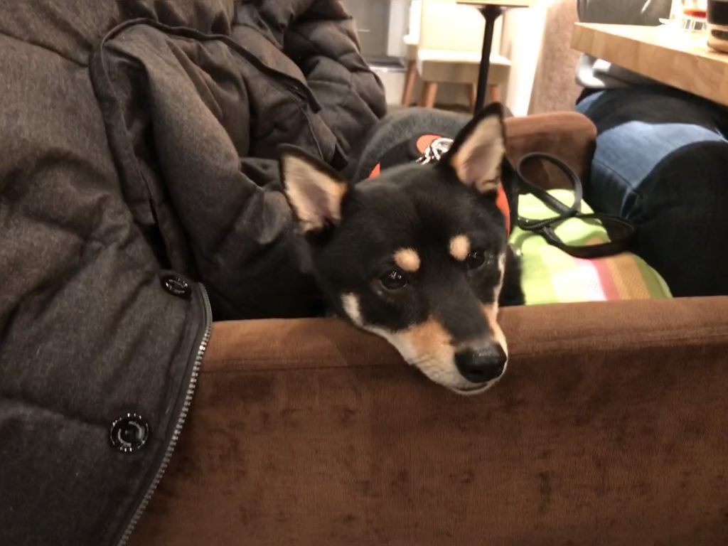 黒豆柴犬 うめ太 2歳1ヶ月 CHINCHOGE CAFE/BAR